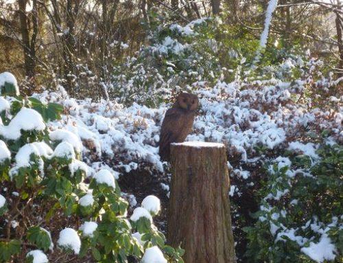Tawny Oak Owl on a Redwood stump